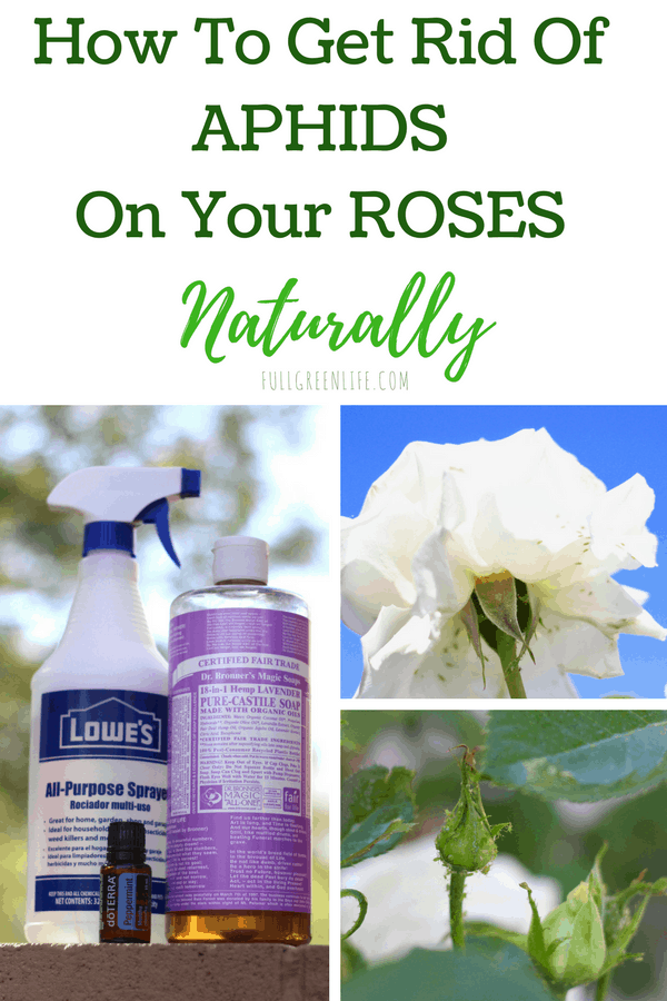 Nontoxic Aphids Rose Spray