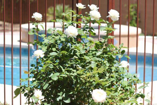 white rosebush